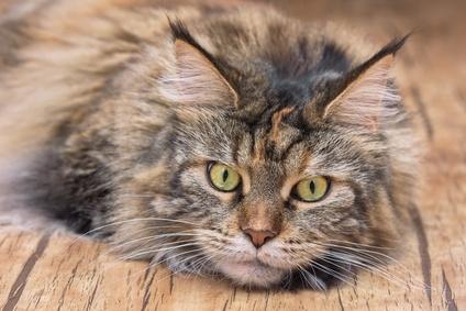 maladie du chat